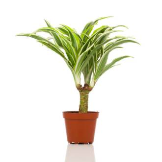 Dracaena plant in a pot on a white background